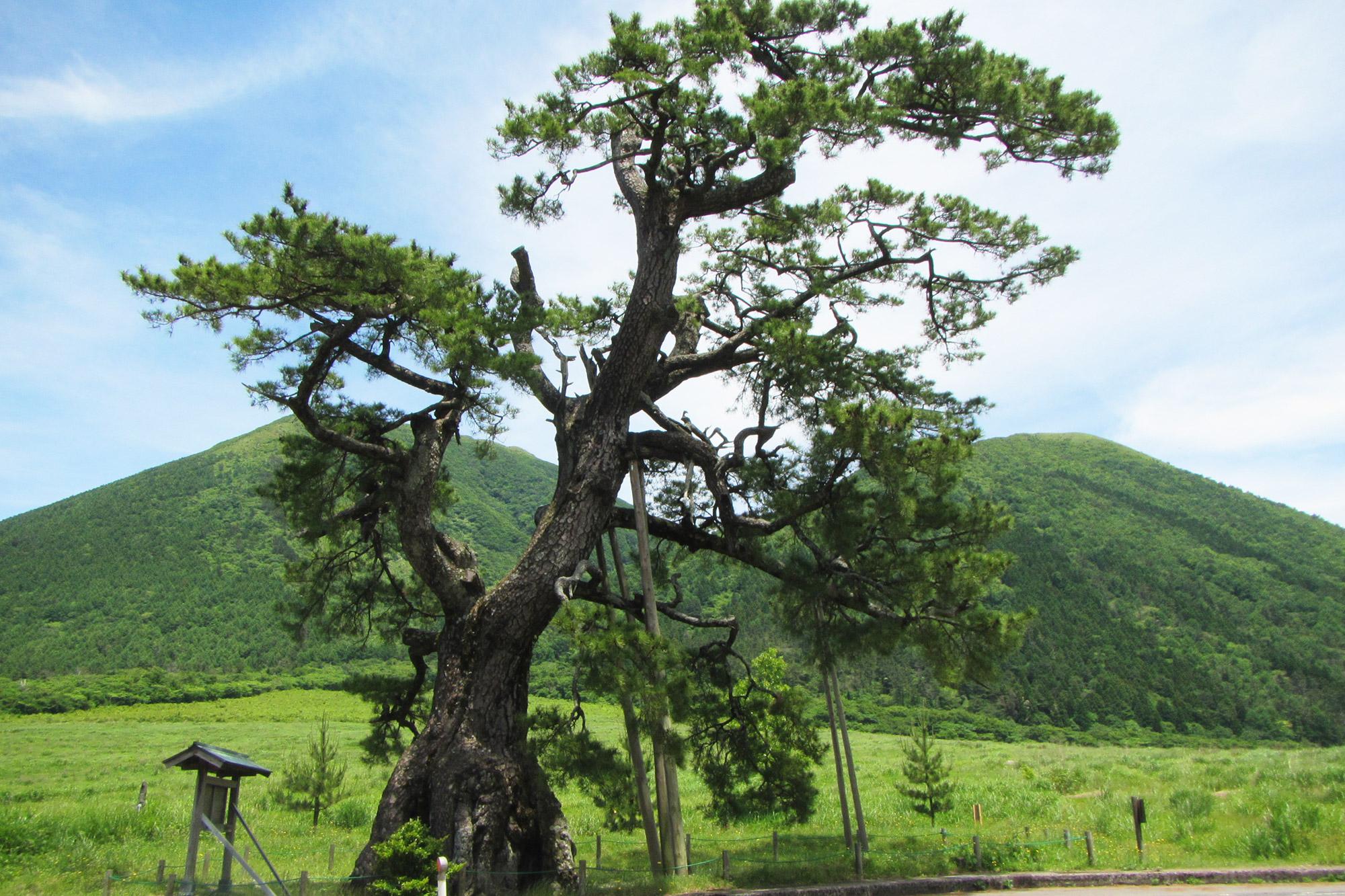 三瓶山 「定めの松」