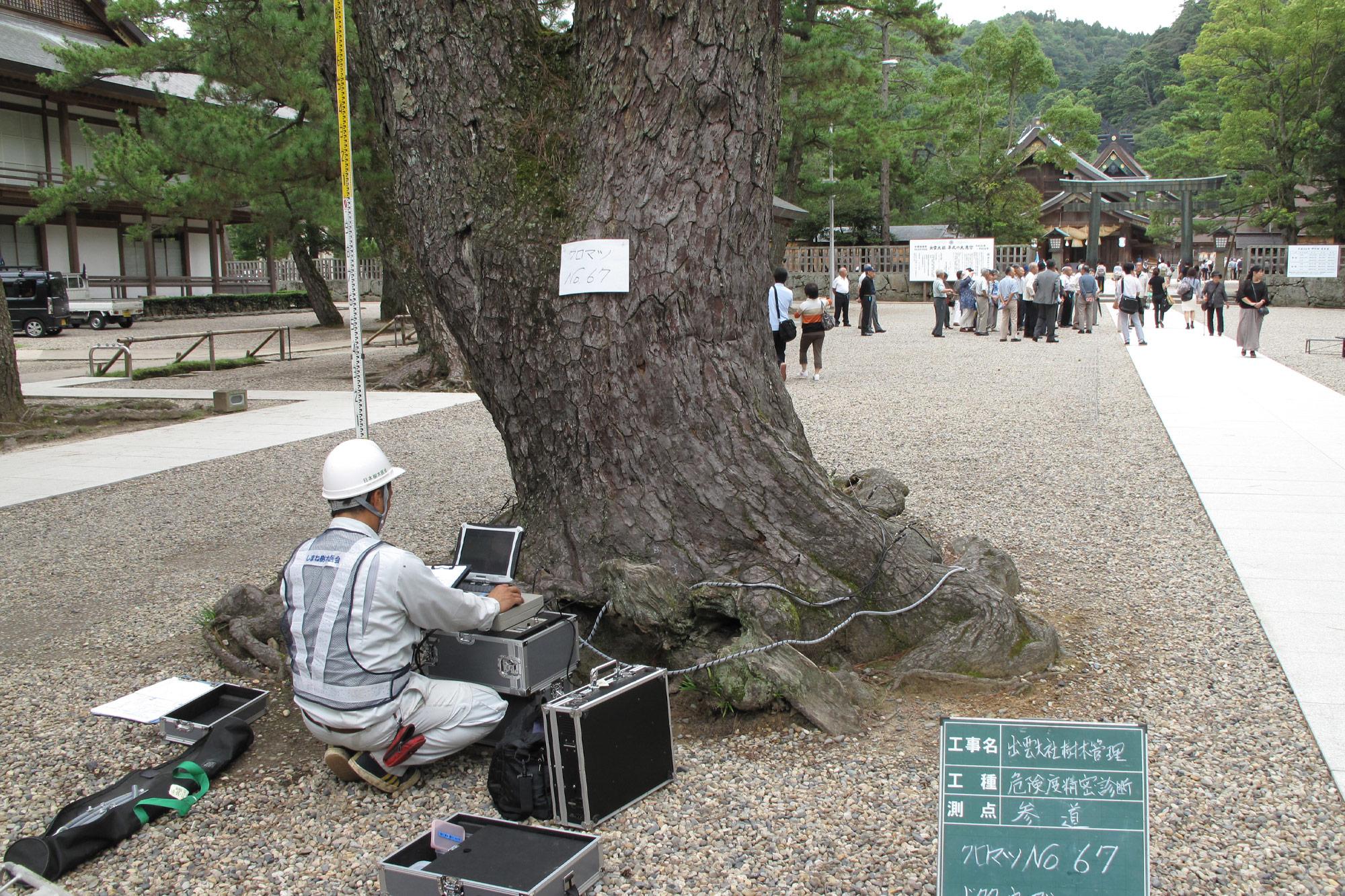 出雲大社「参道の松」の樹勢診断